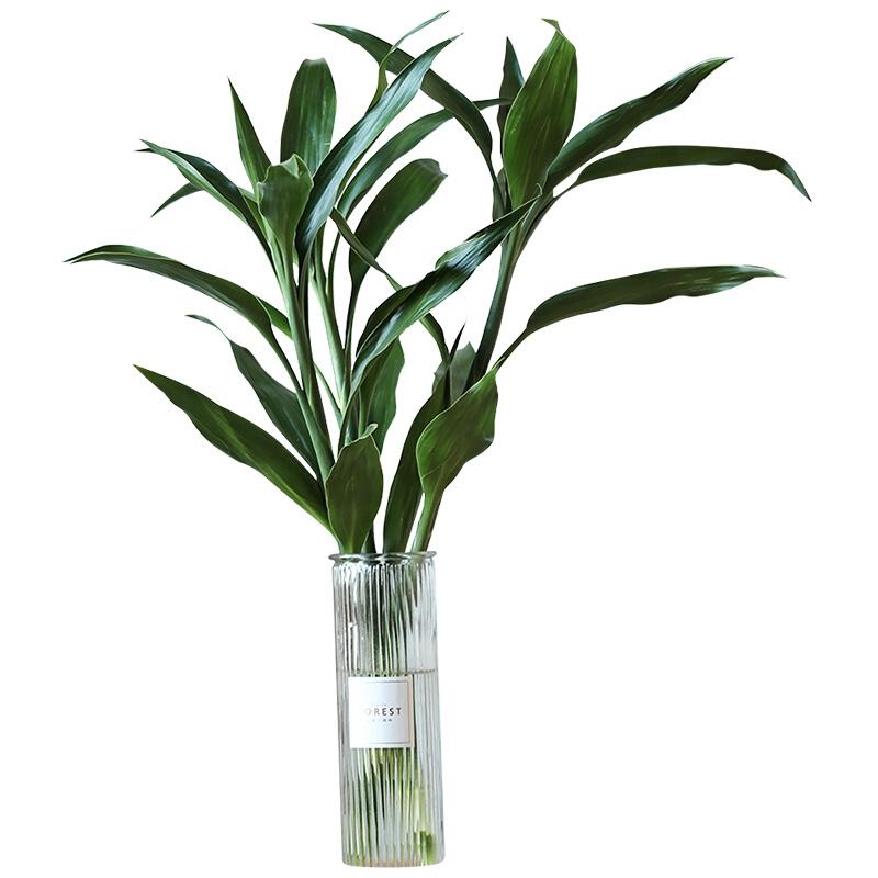 富贵竹水培切枝摆件 10枝