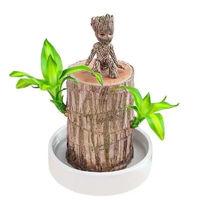 侈放 巴西木盆栽+塑料白盆