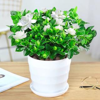 泰西丝 绿植盆栽 栀子花+螺纹盆