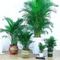 春之者 散尾葵 凤尾竹 高度50厘米左右5棵-含白色螺纹盆