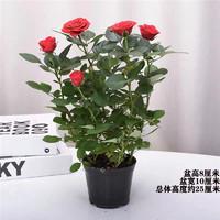 致荟树  玫瑰花盆栽  带花苞(带原盆)