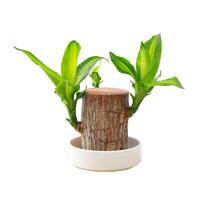 巴西木室内水培花卉 塑白盆+和尚(随机)+肥料) 5-6CM(可发1-2个芽)
