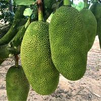 PLUS会员:Xian Zhi Nan 鲜指南 海南黄肉软皮菠萝蜜 25-30斤单个装