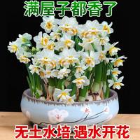 水培水仙花种球盆栽植物  勋章 特级中球8个+盆+液+碗莲+鹅卵石
