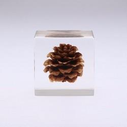 sola cube·松果植物标本立方体小号